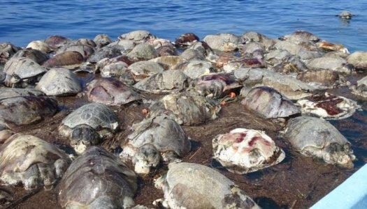 Atrapadas en malla de pescadores, mueren cientos de tortugas en Oaxaca