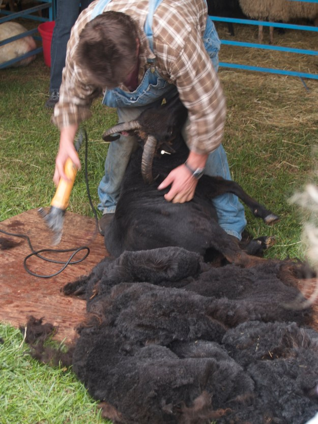 Where all wool begins: the sheep shearing