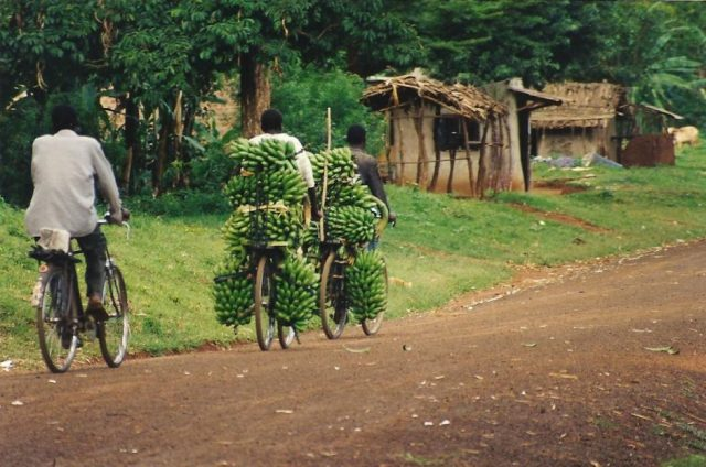 carrying bananas on a cycle in mbale uganda
