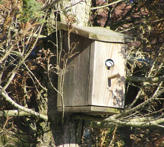 blue tit looking out of a nest box in spring in norway