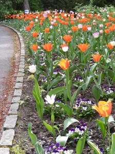image of tulips in oslo, norway