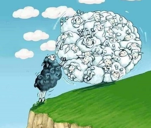 black sheep stopping white sheep before cliff