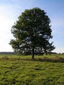 220px-Ash_Tree_-_geograph.org.uk_-_590710