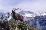 carneiro selvagem