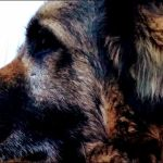 Psi identifikuju 'miris korone' jednako pouzdano kao standardni PCR tekstovi
