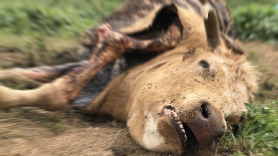 U čačanskim selima uginula 43 grla stoke, pretpostavlja se od visoke temperature vazduha