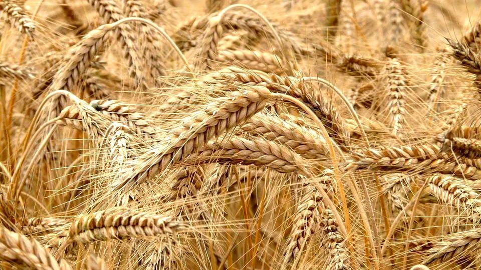 Završena žetva pšenice, prinosi dobri, ratari nezadovoljni cenom