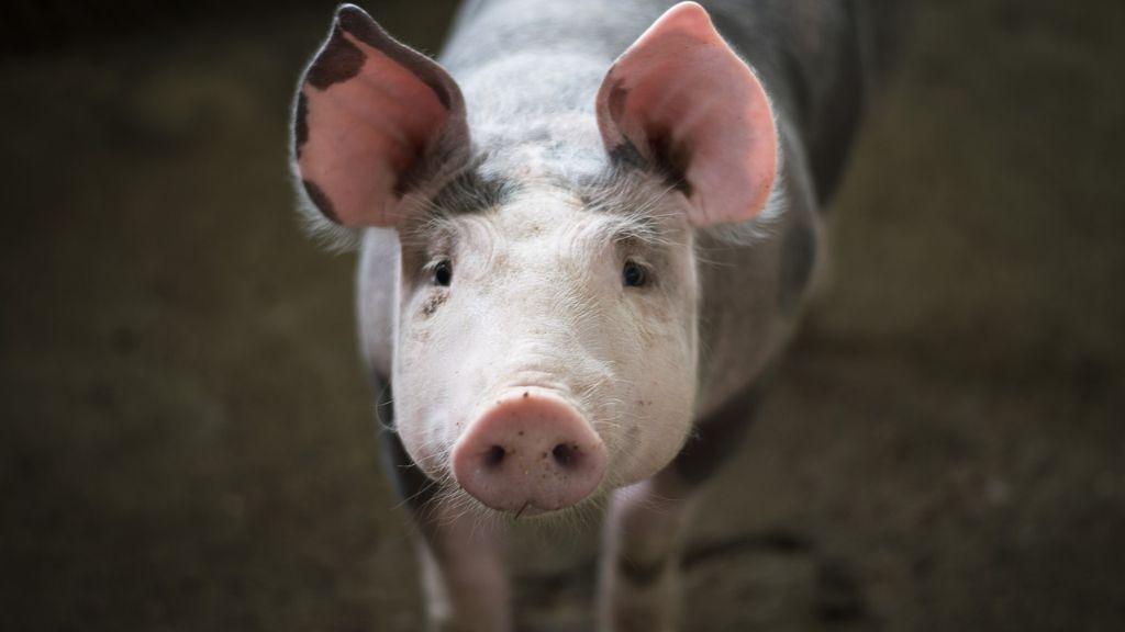 Proizvođači svinja u Srbiji: Pandemija kovid 19 i pad cena smanjili broj za oko 1,5 miliona komada