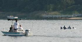 4 of the 12 Dolphin Pod In The Shrewsbury River During June of '08