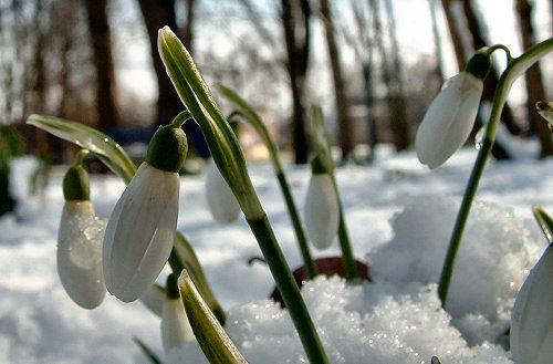 sneeuwklokje.jpg