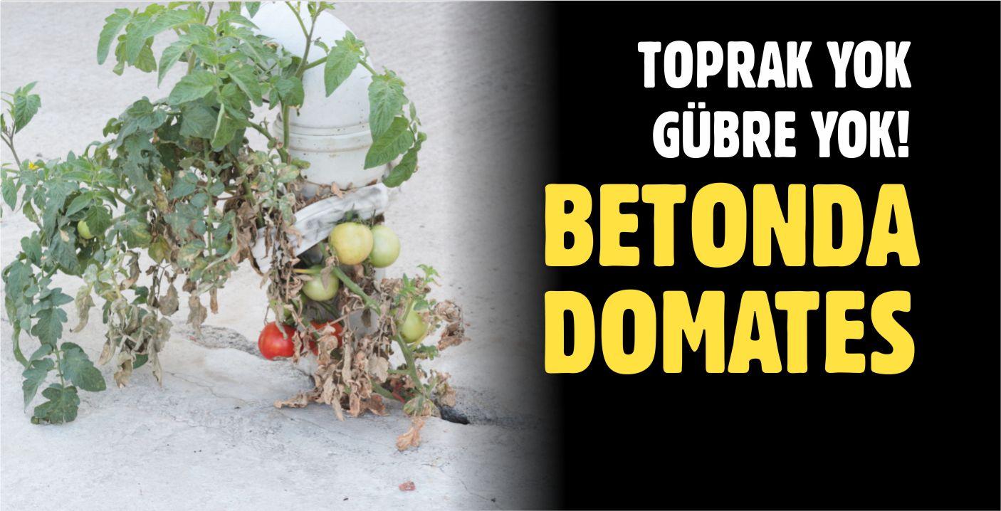 BETONDA YETİŞEN DOMATES GÖRENLERİ ŞAŞIRTIYOR!