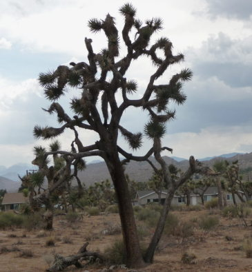 Joshua Trees are just weird, aren't they? They are a member of the tulip family. Go figure!