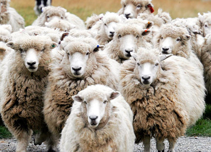 It's ok to be a sheep but when you willing volunteer for the slaughter...