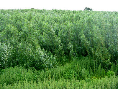 biomass_crop_of_willow