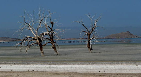 Salton_Sea_-_drowned_trees