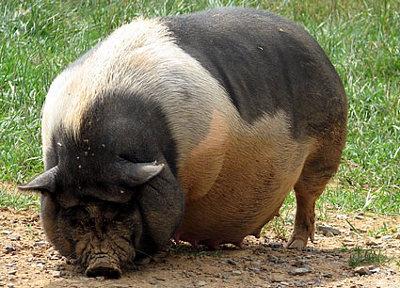 pig-vietnamese-pot-bellied