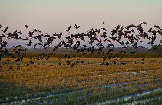 Geese in Sacramento rice fields