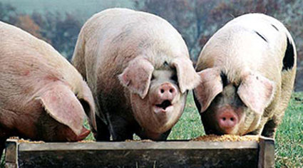 PigsTrough