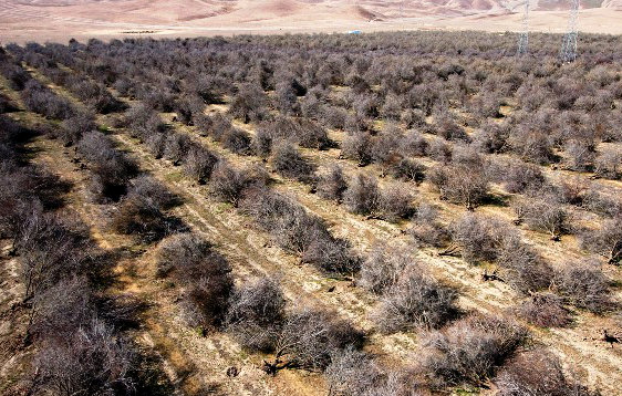 San Joaquin Valley. Dead orchard