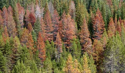 Dead trees. Pine bark beetle