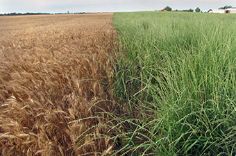 Kernza compared to wheat in fields