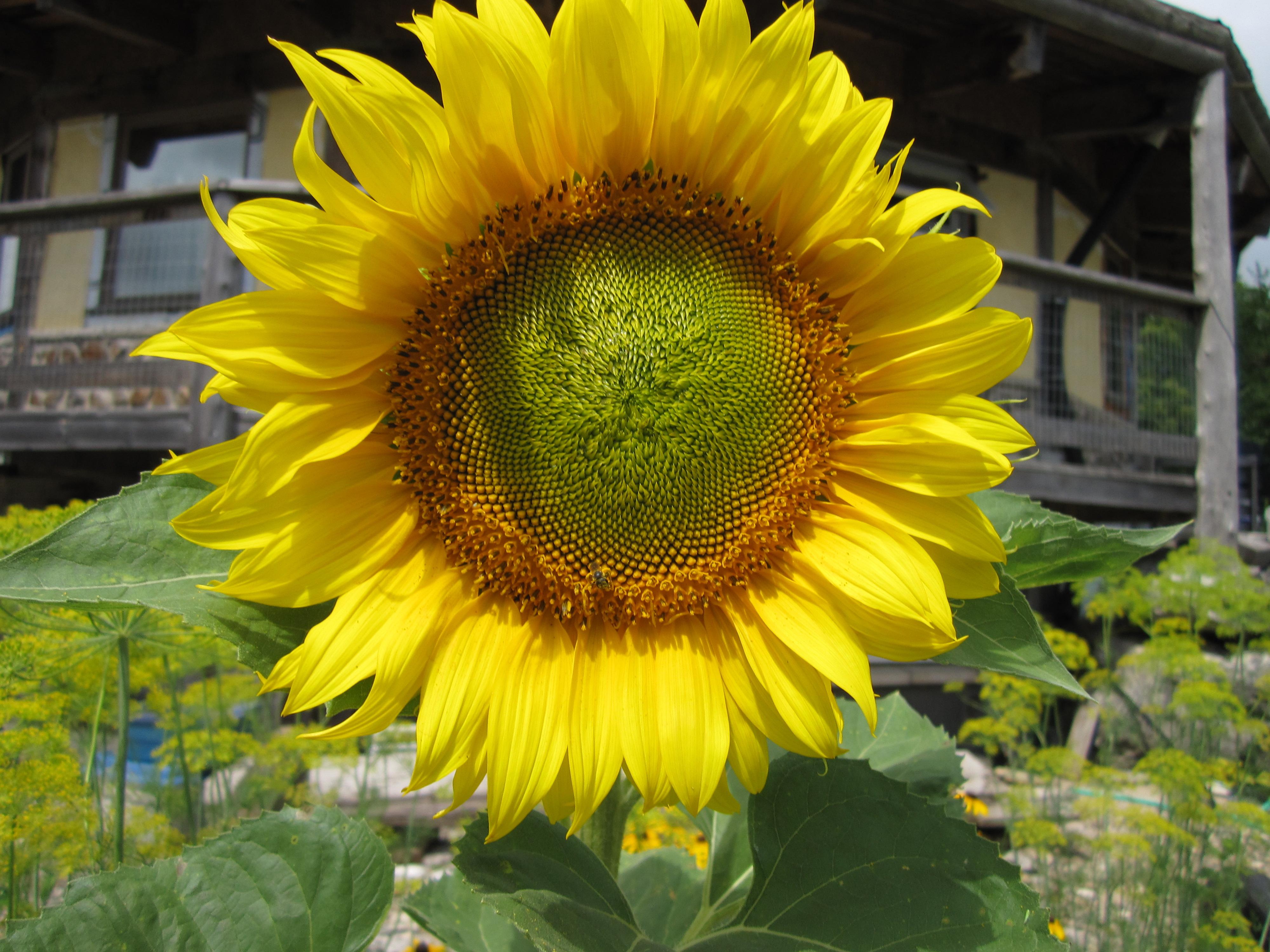Sunflower polka dot hen produce