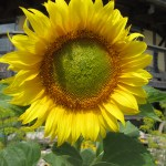 Sunflower polka dot hen produce