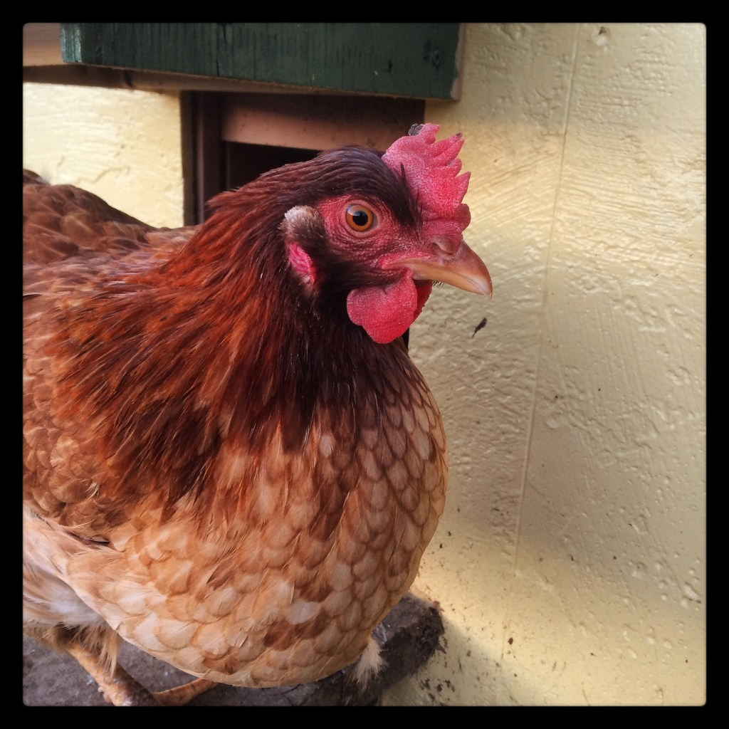 A hen exits the coop through the automatic door