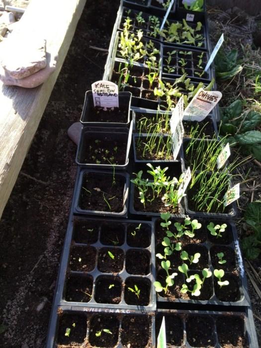 vegetable seedlings wiarton cold frame