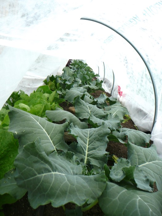 Young broccoli plants fresh veg polka dot hen produce