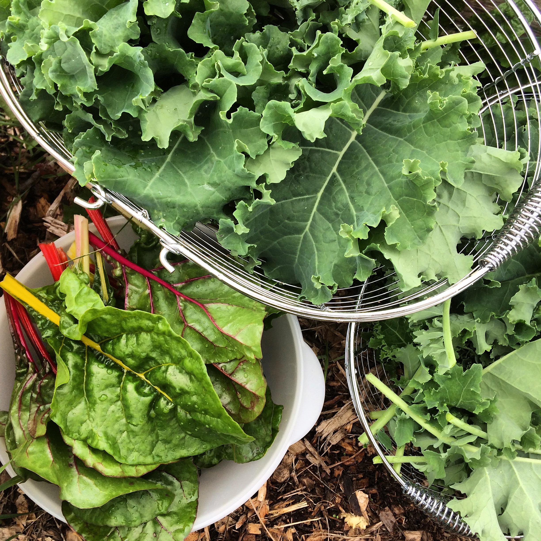 Winterbor kale and Swiss chard Polka Dot Hen Produce