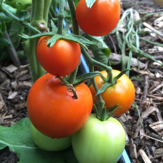 Jaune Flamme heirloom tomatoes