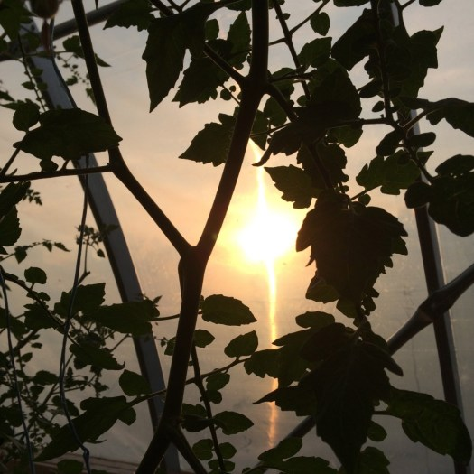 Tomato vines silhouetted in the hoop house at dusk