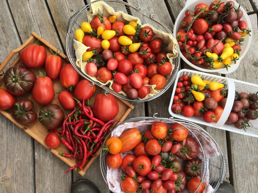 The variety of tomatoes grown in our hoop house this year