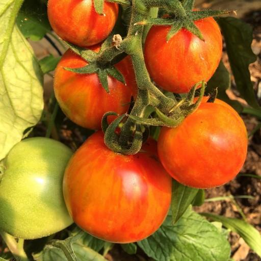 polka dot hen produce heirloom tomatoes