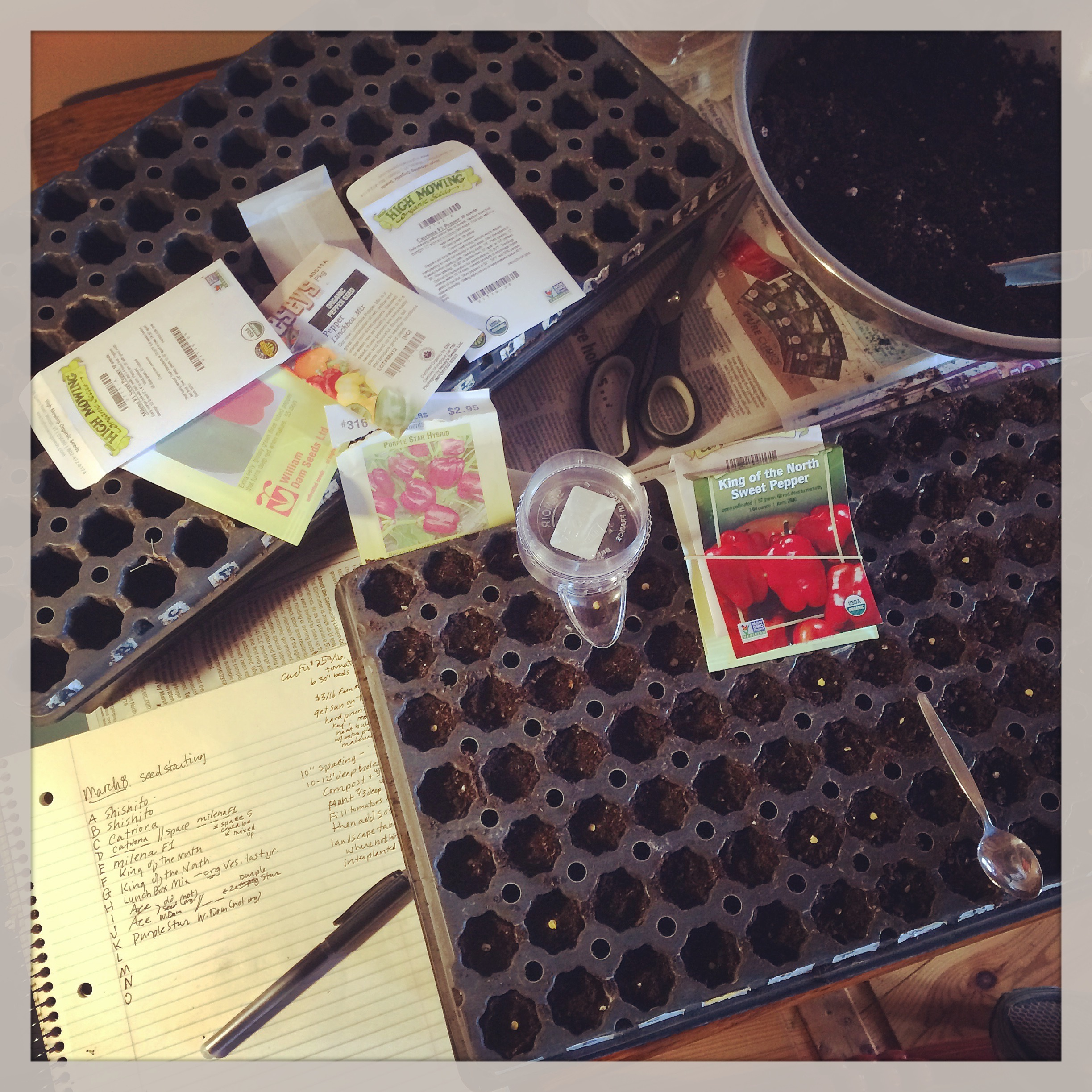 seeding peppers in a tray