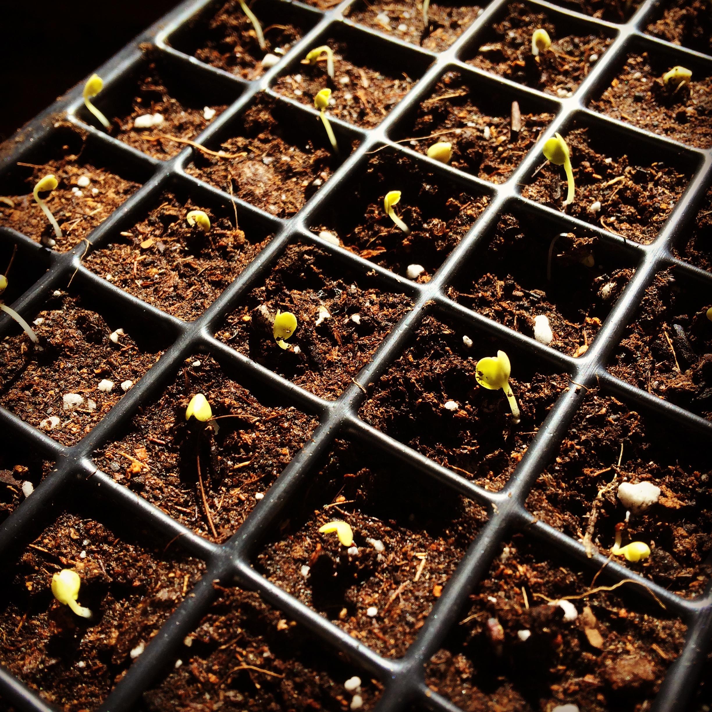 Brassica seedlings
