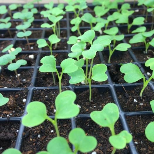 pak choi seedlings