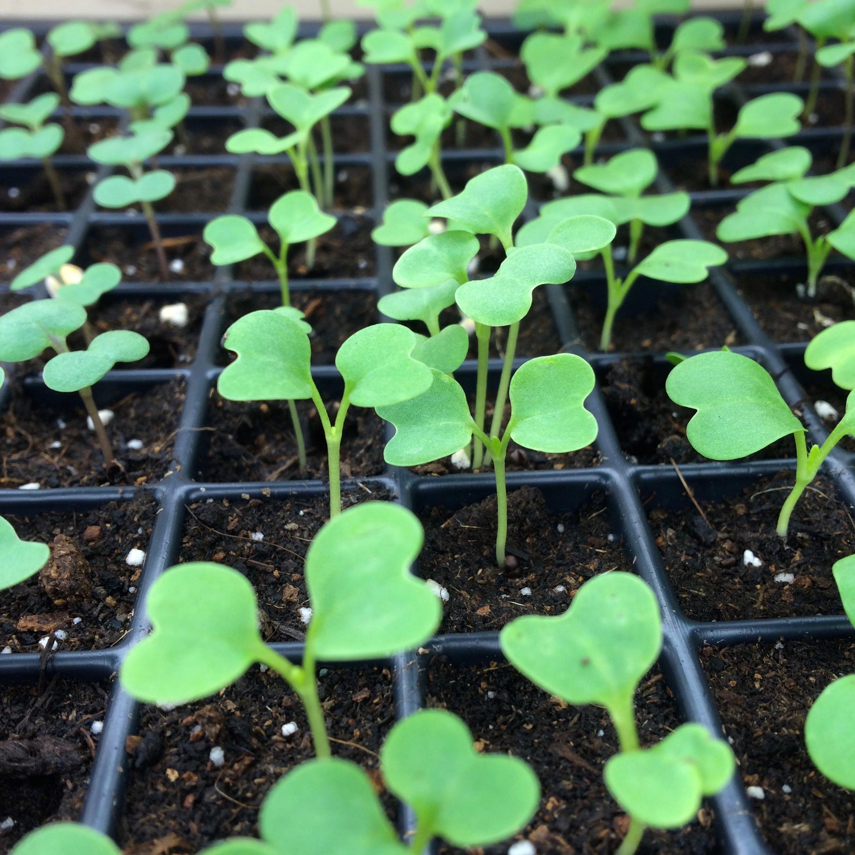 seedlings brassica