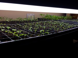 starting seeds under lights