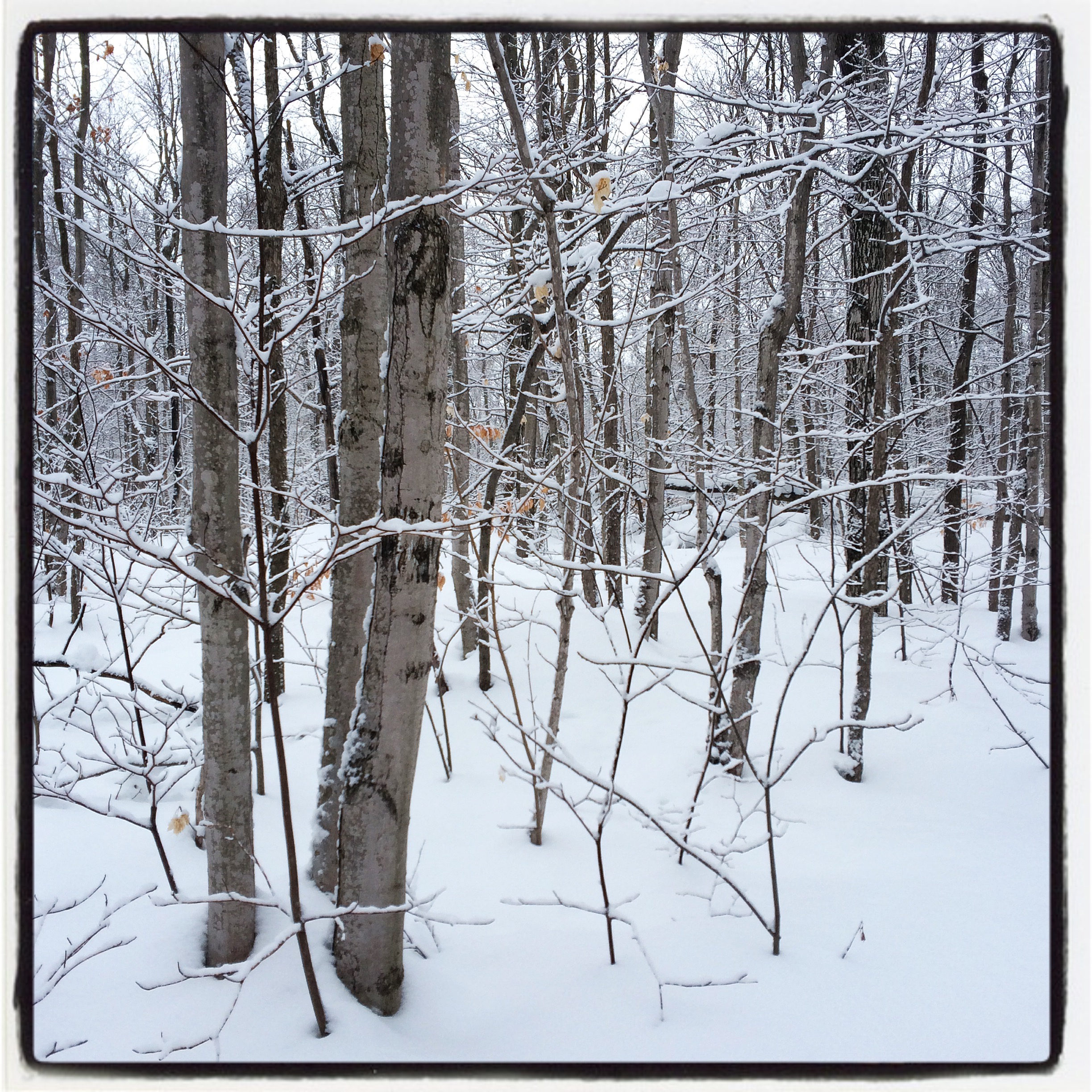 snowy trees winter forest