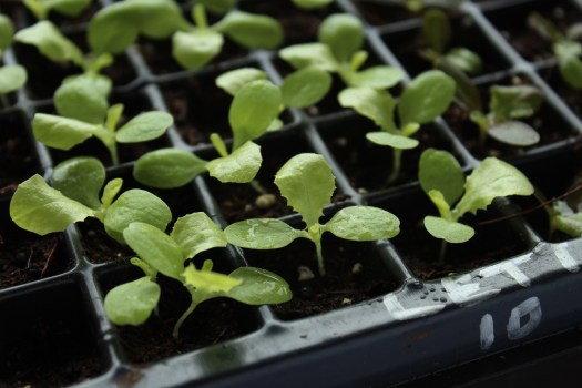 lettuce seedlings polka dot hen produce