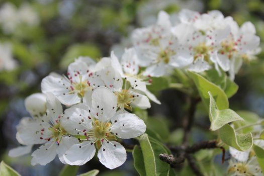 Close-up of pear tree blossoms