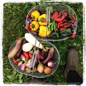 fall harvest of eggplant, bell and hot peppers