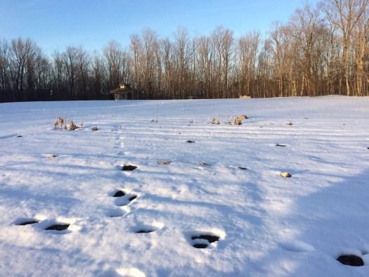 snowy field polka dot hen produce wiarton