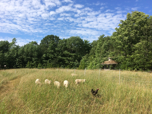 pasture lambs chicken Birds Nest Garden Farm