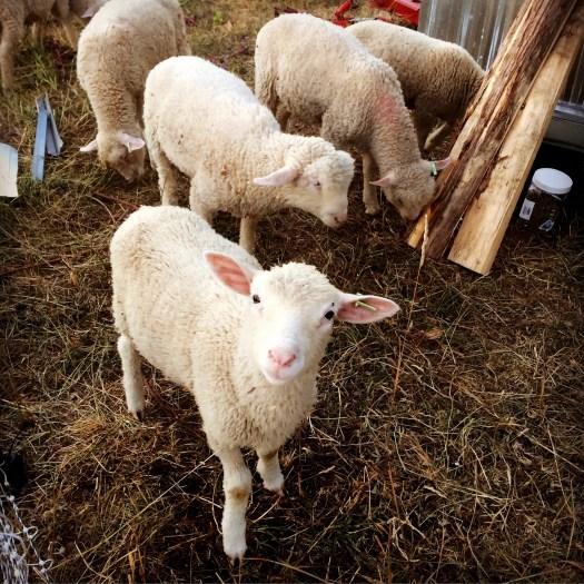 lambs birds nest garden farm