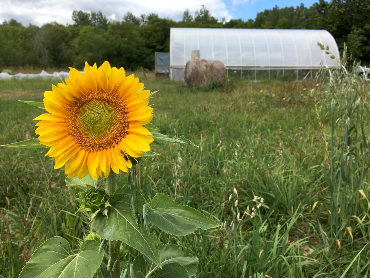 sunflower hoop house bird's nest garden farm