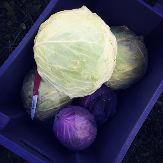 Fresh green and red cabbages from Polka Dot Hen Produce