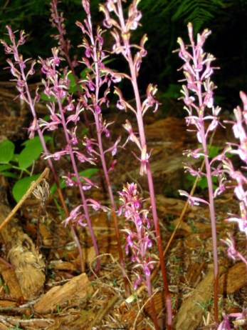 coralroot